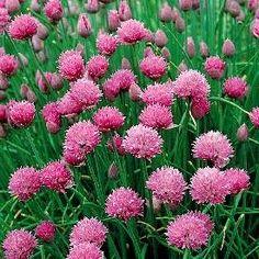 Allium sch. 'Rising Star' (P9)