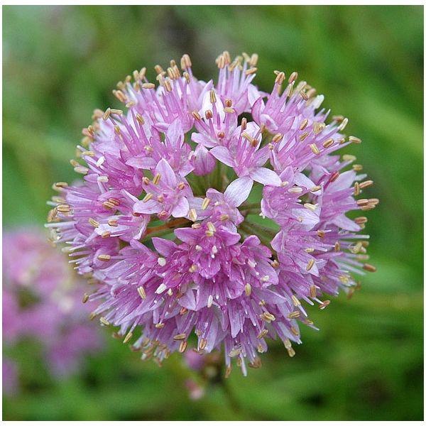 Allium senescens ssp glaucum (P9)
