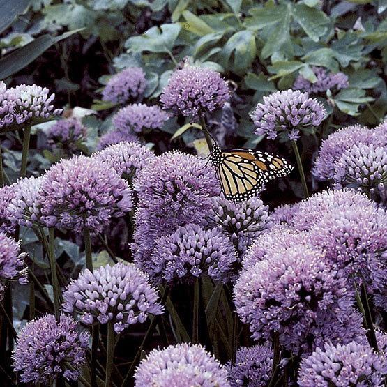 Allium senescens (P9)