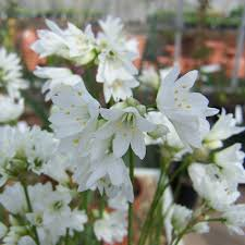 Allium zebdanense (P9)