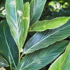 Alpinia formosana (P9)