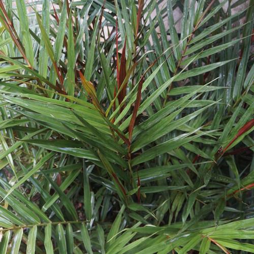 Alpinia luteocarpa (P9)