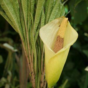 Amorphophallus napalensis (bol)