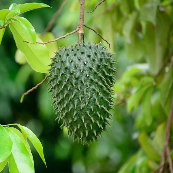 Annona muricata (P23)
