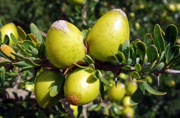 Argania spinosa (5 zaden)
