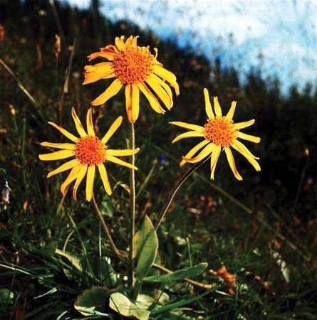 Arnica montana (zaden)