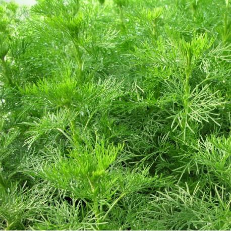 Artemisia abr. 'Coca Cola'(P9)