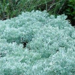 Artemisia caucasica (P9)