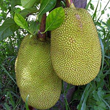 Artocarpus heterophyllus (3 zaden)