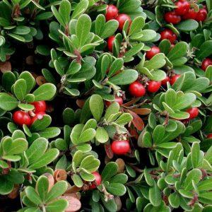 Arctostaphylos uva-ursi (P9)