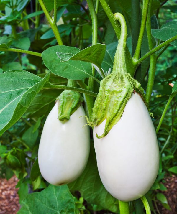 Aubergine 'White Eggs' (zaden)