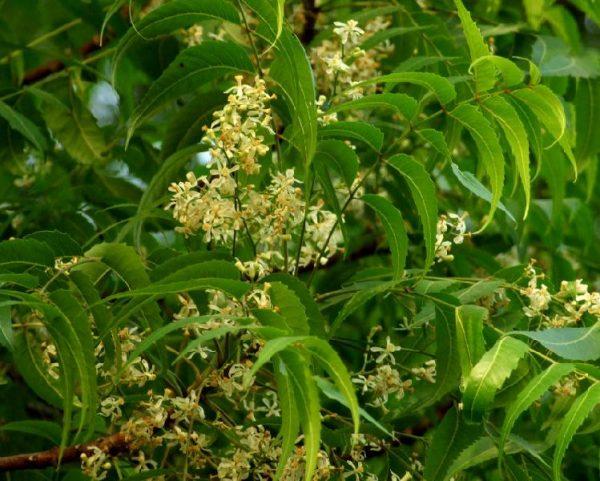 Azadirachta indica (P9)