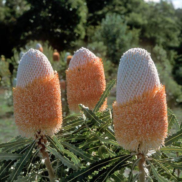 Banksia prionotes 'dwarf'