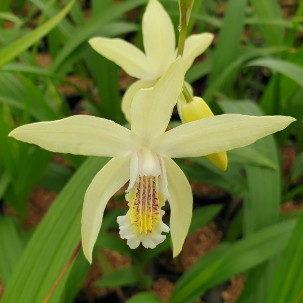 Bletilla ochracea (P9)