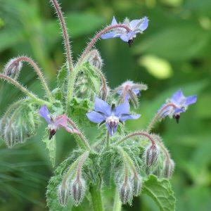 Borago officinalis (P9)