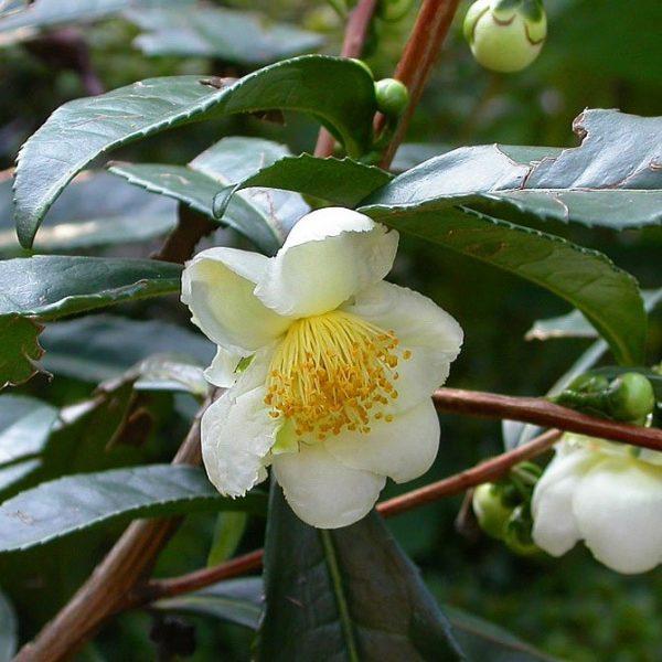 Camellia sinensis var assamica