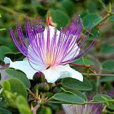 Capparis spinosa (zaden)
