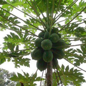 Carica papaya (C5 pot)