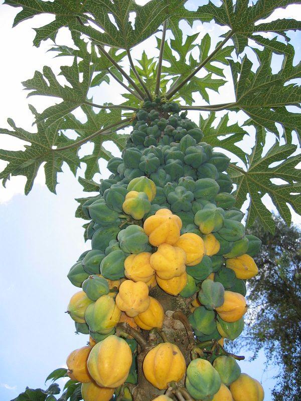 Vasconcellea pubescens (C5 pot)