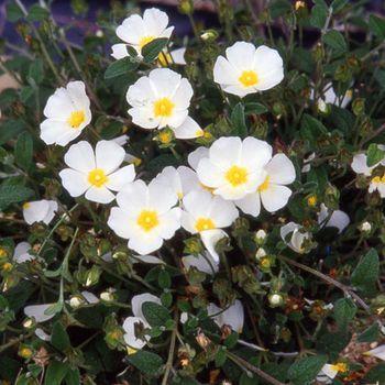 Cistus x obtusifolius (P9)