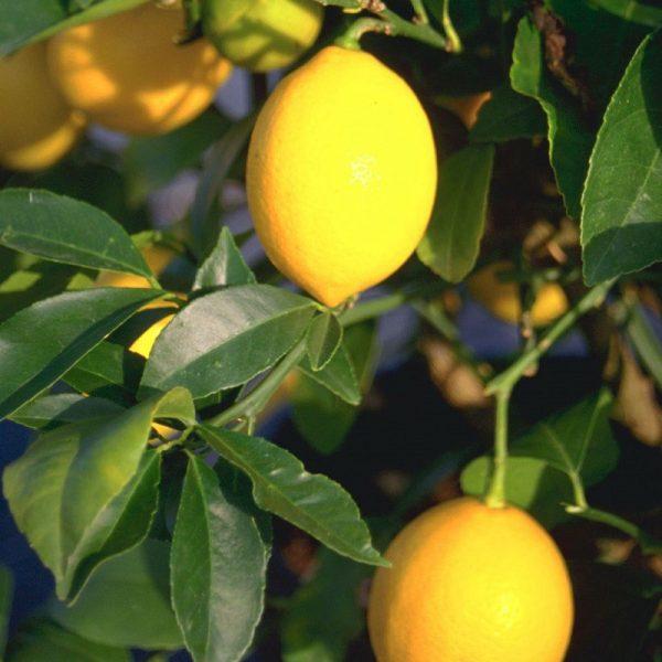 Citrus 'Four Seasons'