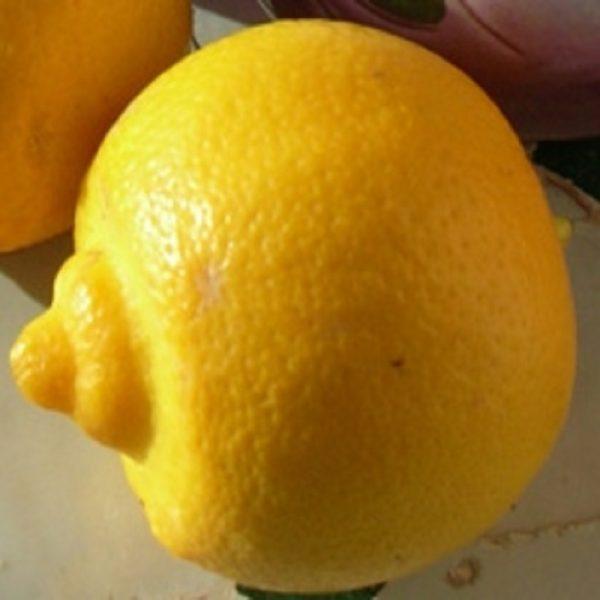 Citrus aurantifolia 'Marrakech'