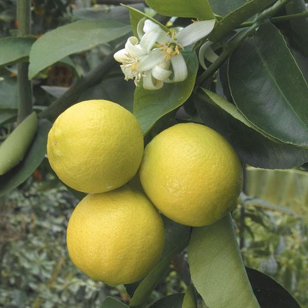 Citrus x limon 'Palestina'