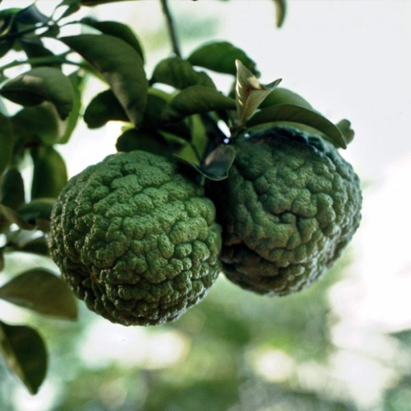 Citrus aurantium 'Currassuviensis'