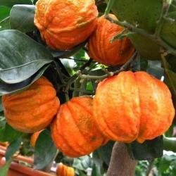 Citrus x aurantium 'Canuliculata'
