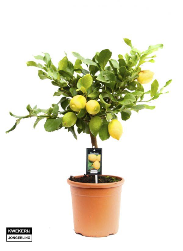 Citrus x limon 'Cappuccio' (P21)