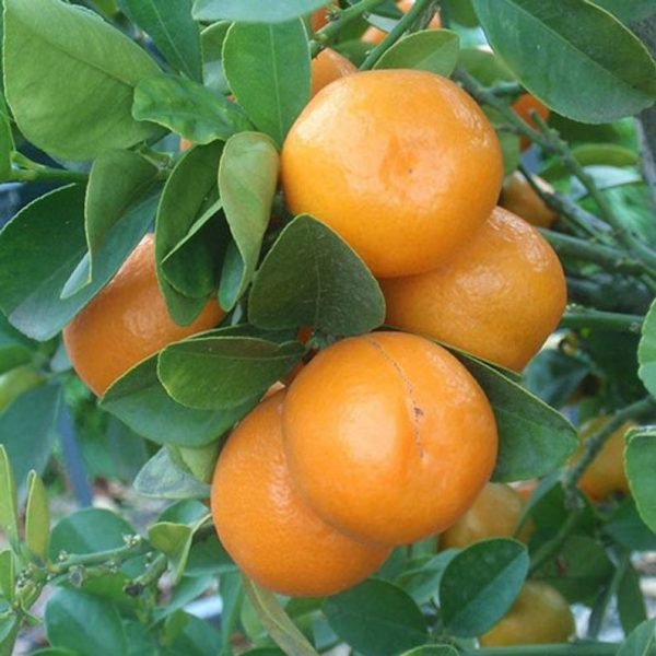 Citrus japonica 'Meiwa'