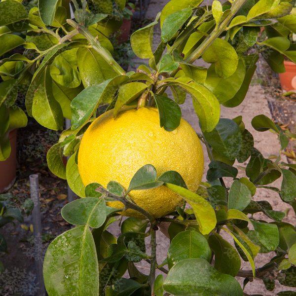 Citrus maxima 'Sarawak'