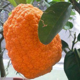 Citrus medica 'Aurantiata'