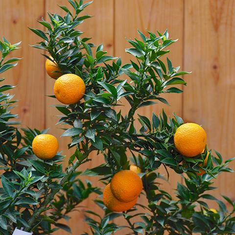 Citrus myrtifolia