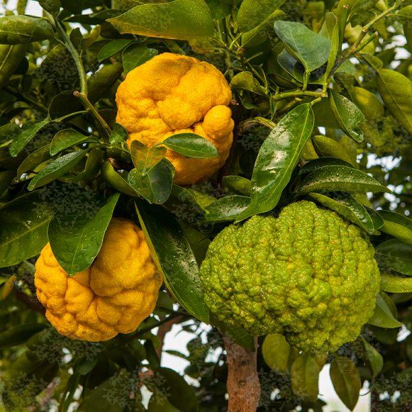 Citrus x junos 'Oni Yuzu'