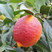Citrus x limon 'Rosso'