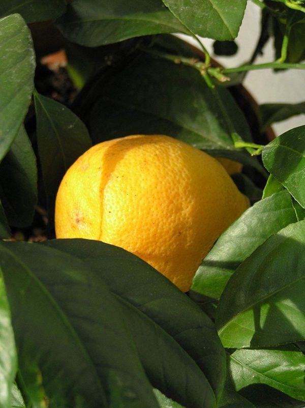Citrus x jambhiri 'Otaheite'