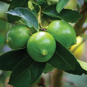 Citrus x latifolia 'Tahiti'