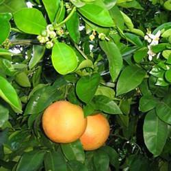 Citrus x paradisii