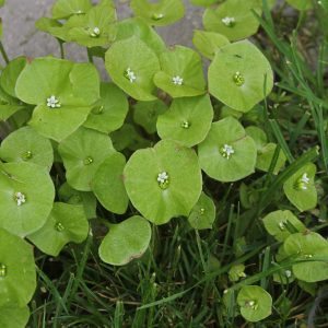 Claytonia perfoliata (zaden)