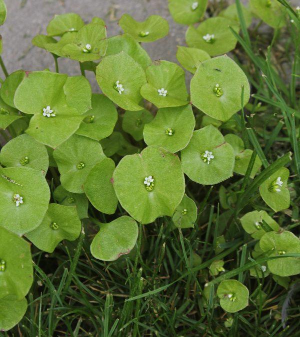 Claytonia perfoliata (P9)