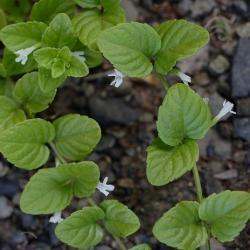 Clinopodium douglasii (P9)