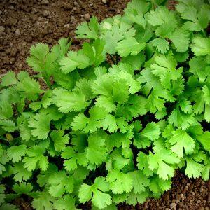 Coriandrum sativum