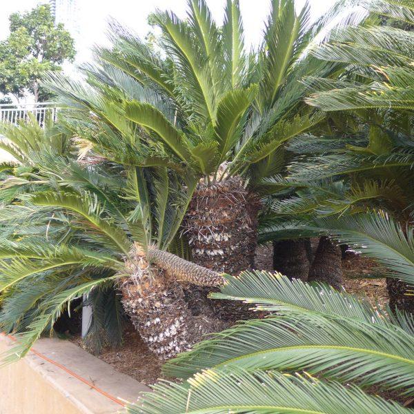 Cycas revoluta (P9)