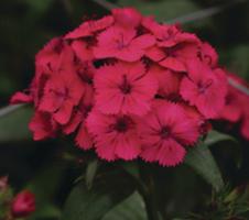Dianthus barbatus (P9)