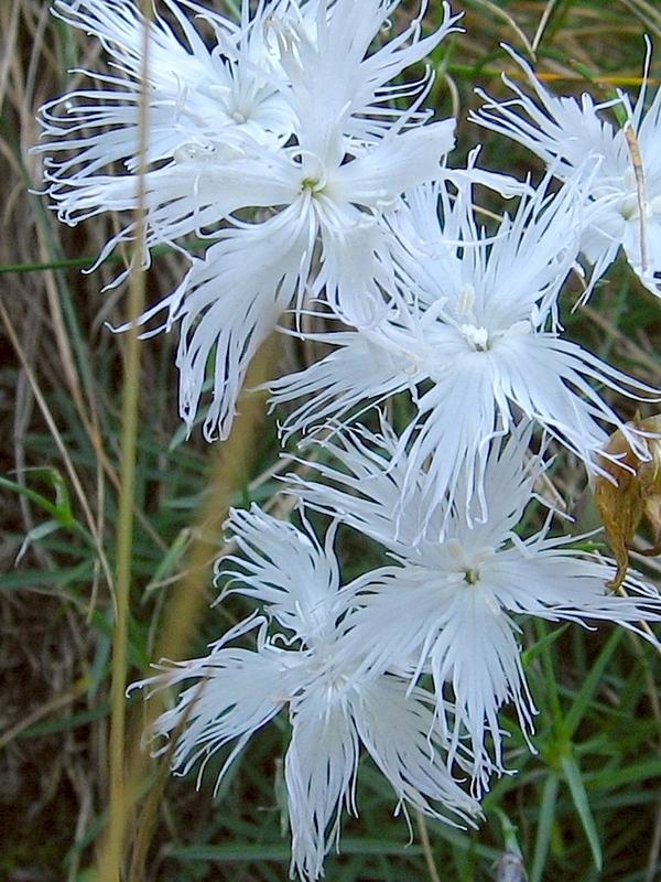Dianthus speculifolius (P9)