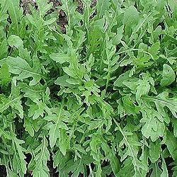 Diplotaxis erucoides (zaden)