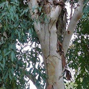 Eucalyptus camaldulensis (P11)
