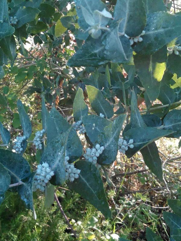 Eucalyptus crenulata (p11)
