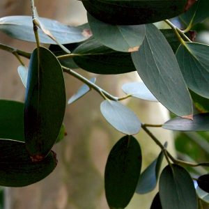 Eucalyptus debeuzevillei (p11)